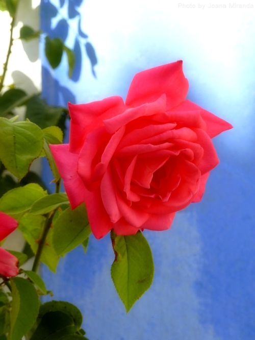 rose in Obidos
