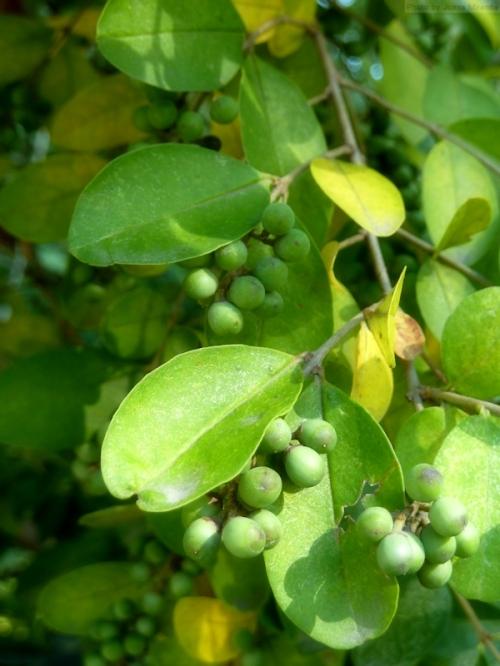 green fall berries