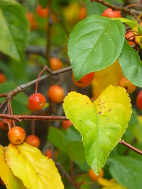 heart shaped leaves with berries in the fall