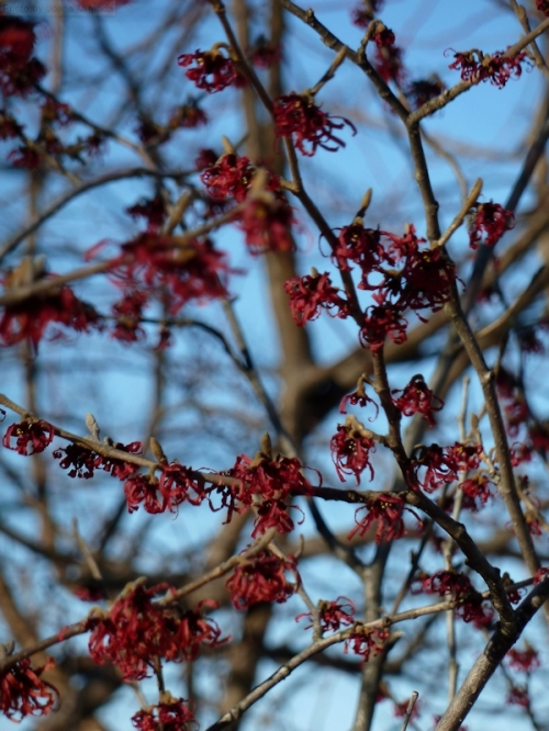 red buds against blue sky