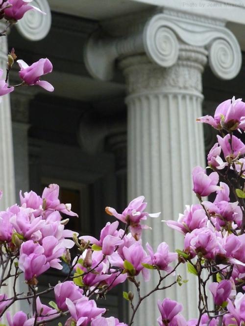 Magnolia blossoms against columns