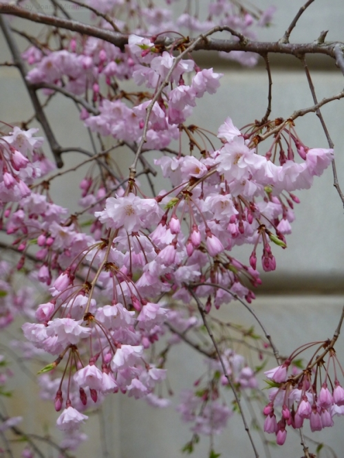 pink cherry blossoms
