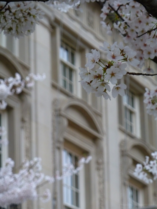 white cherry blossoms against stone building