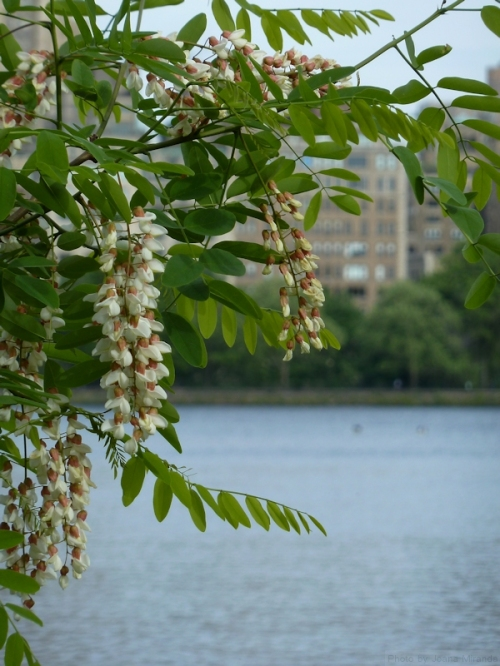flowering tree on the reservoir