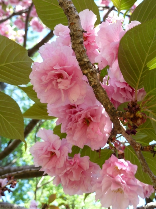 puffy pink cherry blossoms