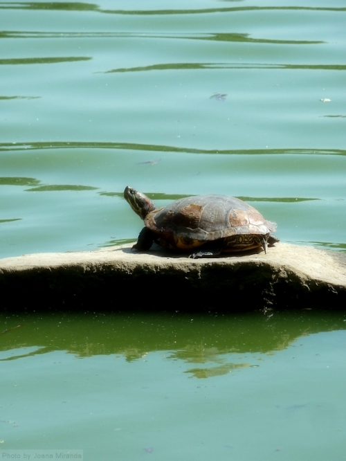 turtle on rock in The Lake in Central Park