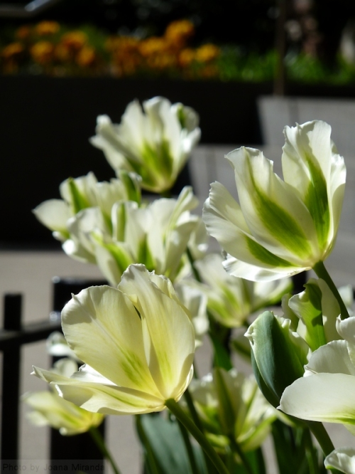 white and green tulips