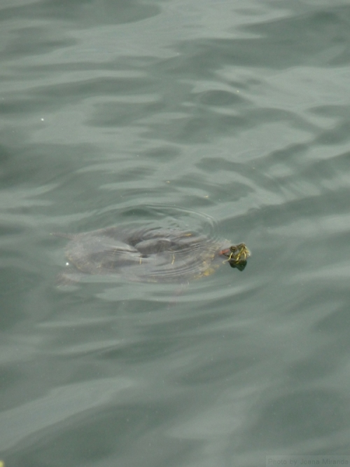 big turtle swimming in the Jackie O reservoir
