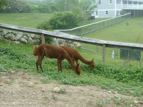 pair of alpacas