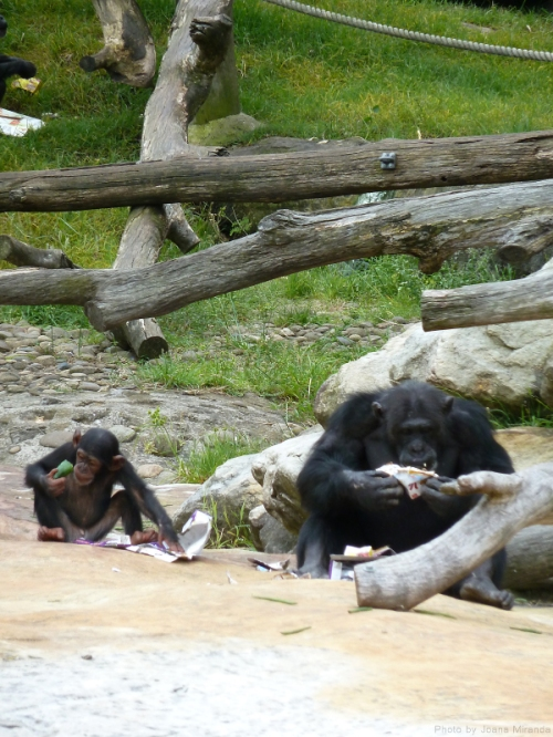 Big and little chimps eating lunch