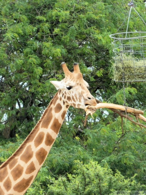 Giraffe chewing on stick
