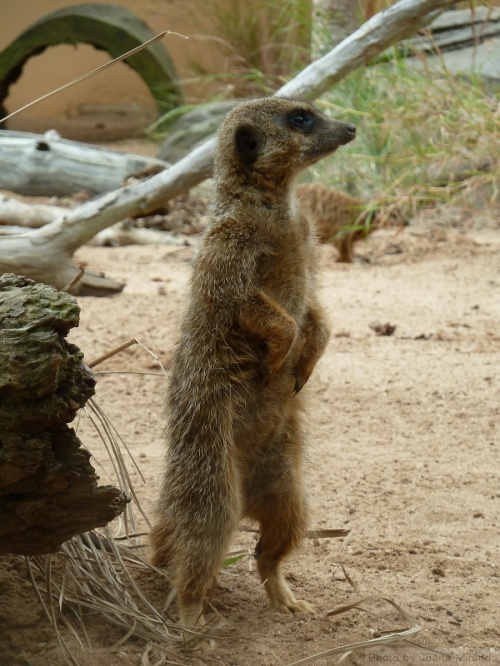 Meerkat standing in profile