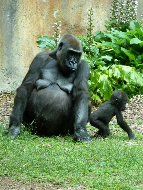 Momma and baby gorilla