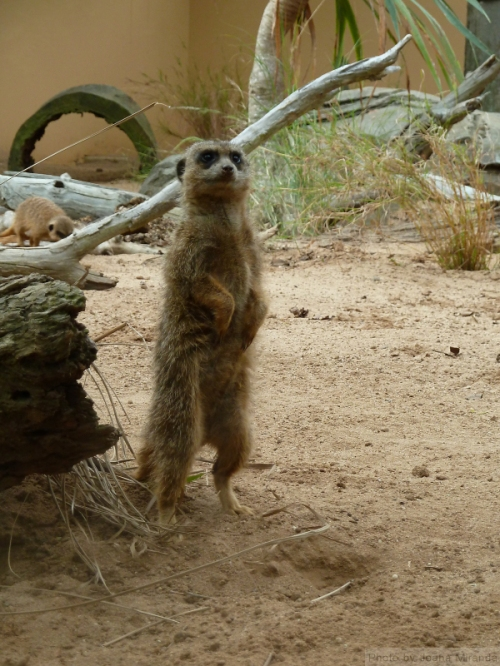 Standing Meerkat