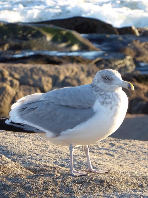Seagull on Maine coast