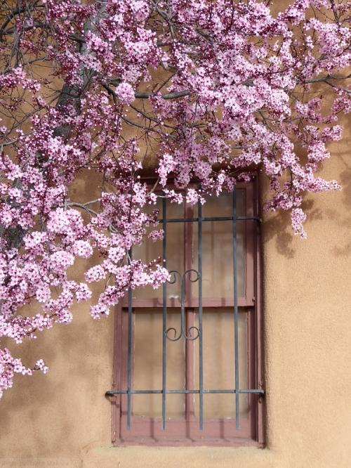 Cherry tree and Santa Fe window