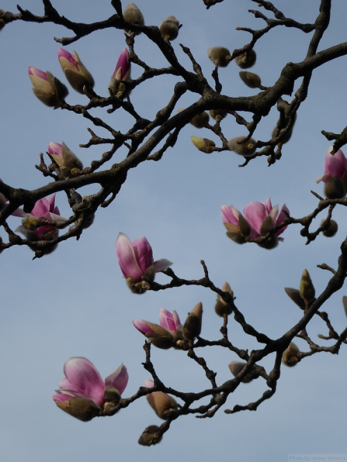 Magnolia blossoms at the Conservatory Garden
