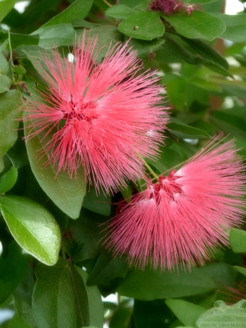pink brush flower