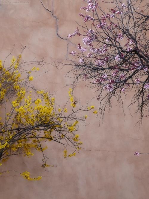 Two flowering trees in Santa Fe