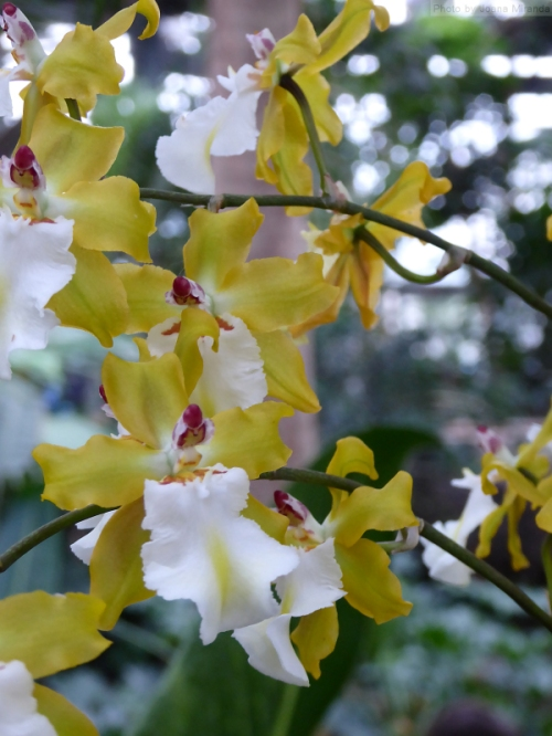 yellow and white mini orchids