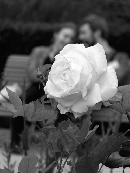 Black and white photo of rose and two lovers