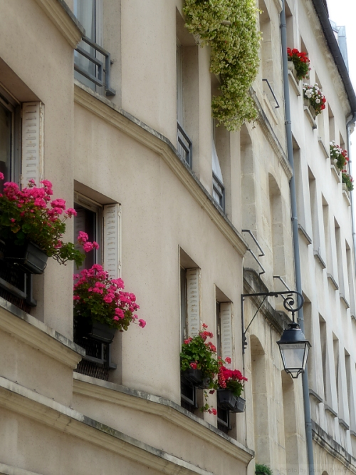 Pink geraniums in the Latin Quarter