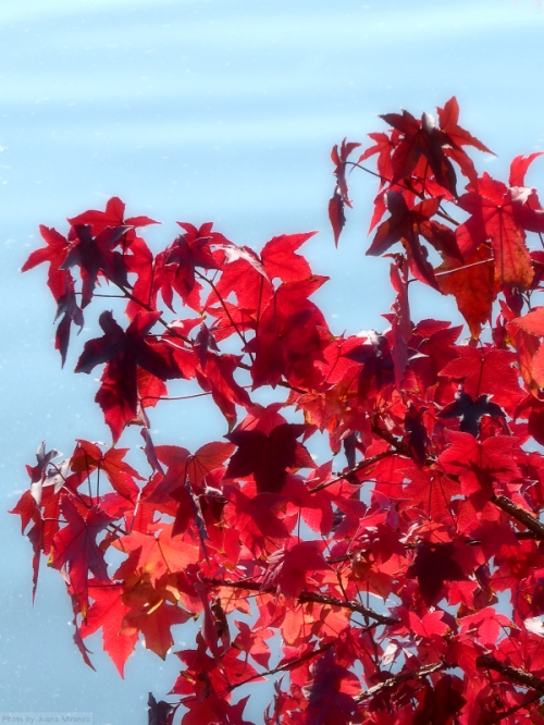 red-leaves-against-a-blue-lake