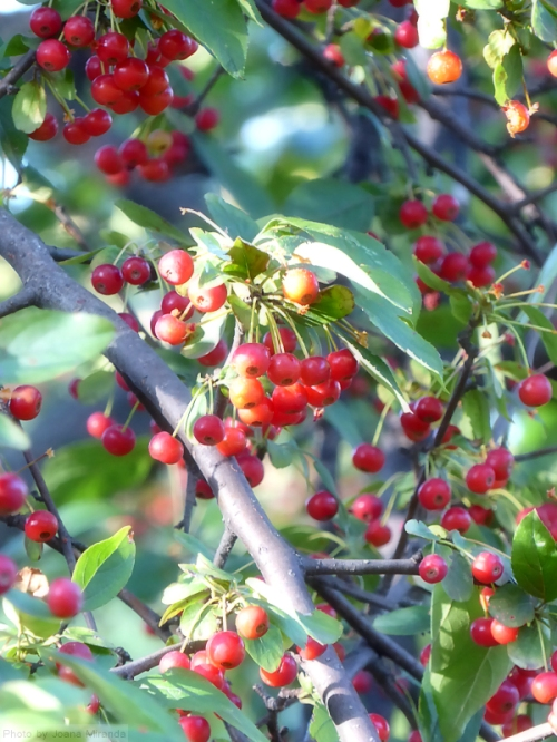 red-tree-berries