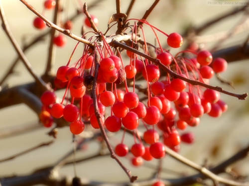 red-berries-in-woodstock-vt