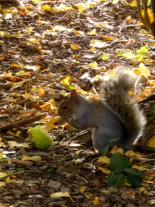 squirrel-with-a-green-fruit