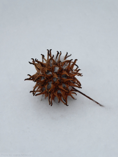 brown-burr-in-the-snow